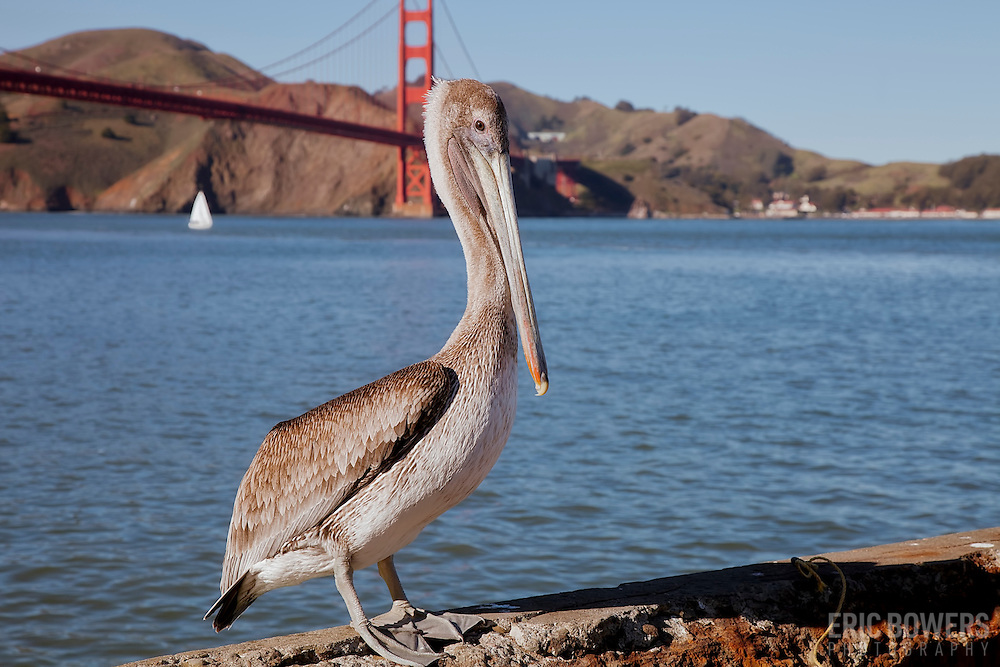 Pelican at Crissy Field in San Francisco
