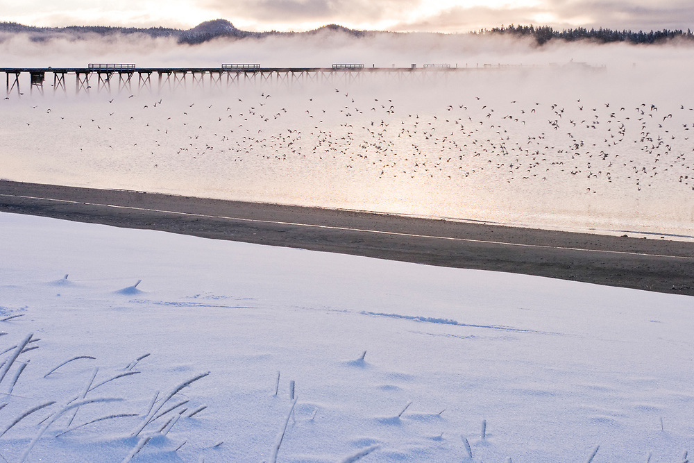 A winter scene of Gustavus, Alaska and the old dock with a flock of shorebirds in the background.
