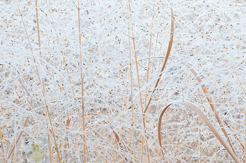 Switch Grass, Panicum virgatum, frost covered, Michigan