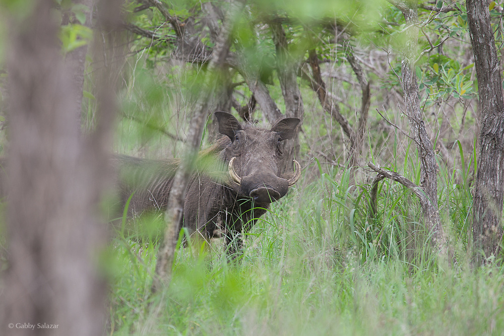 Warthog in summer. Kruger National Park. South Africa. Organization for Tropical Studies Trip 2009.