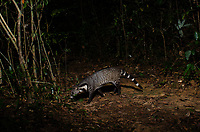 The large Indian civet (Viverra zibetha) is a civet native to South and Southeast Asia. Photo taken in Pang Sida National Park, Thailand.