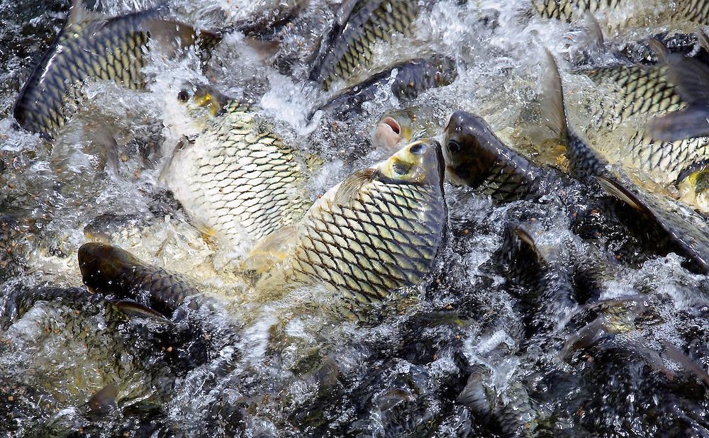 Fish feeding in lake, Bangkok, Thailand