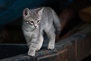 Tabby kitten, Lummi Nation, Washington state