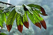 A multi lobed leaf is naturally tipped brown, in Bellavista Cloud Forest Reserve, near Quito, Ecuador, South America.