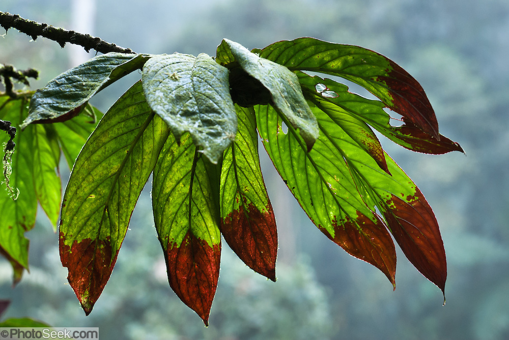 A multi lobed leaf is naturally tipped brown, in Bellavista Cloud Forest Reserve, near Quito, Ecuador, South America.