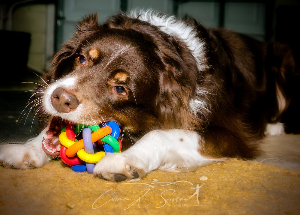 Cowboy, a five-year-old red-tri Australian Shepherd, chews on a multi-pet Nobbly Wobbly rubber ball, Dec. 25, 2013, in Coden, Alabama. (Photo by Carmen K. Sisson/Cloudybright)
