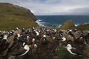 Black-browed Albatross (Thalassarche melanophrys) nesting<br /> West Point Island. Off west coast of West Falkland. FALKLAND ISLANDS.<br /> They return to the same nest annually. The nest is a a solid pillar up to 50cm high of mud and guano with some grass and seaweed incorporated. A single egg is laid in October and juveniles fledge between mid March and April. They have a circumpolar range betweeen 65 S and 20 south and breed on Subantarctic Islands, Including South Georgia and islands off southern South America. In the Falklands they are also found on Beauchene, Saunders, Keppel Island, the Jasons and New Island.<br /> LISTED AS ENDANGERED