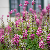 Pink lupine flowers growing outside of a traditional home in Ushuaia, Argentina.