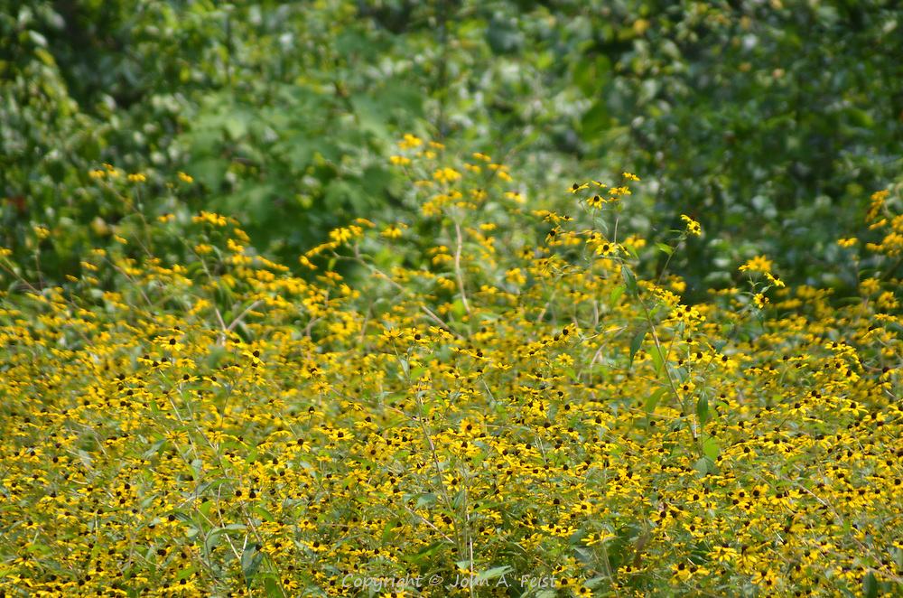 So many blooming black eyed susans in one field.  Hillsborough, NJ