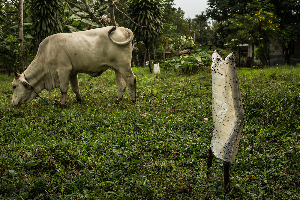 Cattle graze next to a fly-catcher at a ranch in Costa Rica. Rancers with land and cattle near by pineapple plantations say the crops produce flies that make their cattle sick.