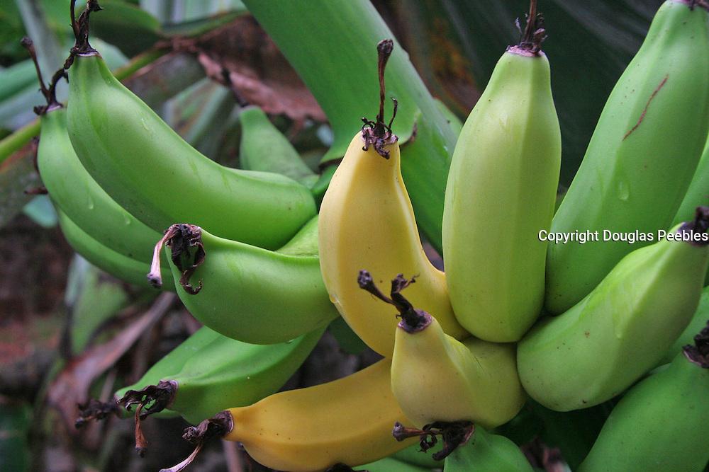 Bananas<br />