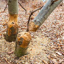 Beech trees, Fagus grandifolia, chewed on by beaver next to a pond in Barrington, New Hampshire.
