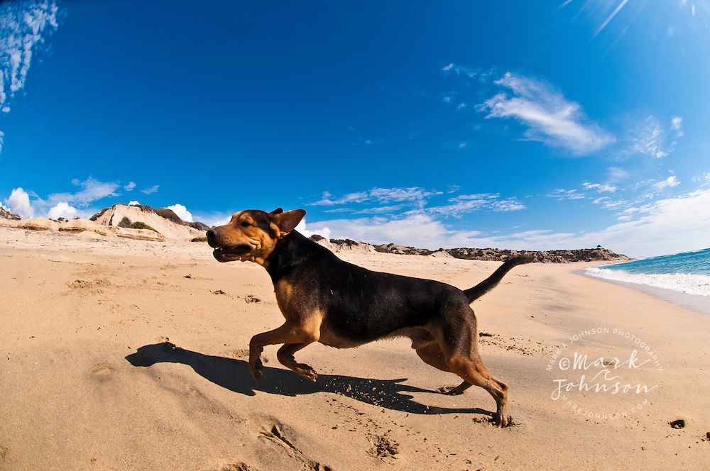 Peso the dog on the beach at Distilideros, Baja California Sur, Mexico