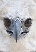 Parauapebas_PA, Brasil...Programa de Conservacao do Gaviao Real  (Harpia harpyja) na Floresta Nacional de Carajas, Para. Na foto voo do Gaviao Real...Preservation Program of the Harpy Eagle (Harpy harpyja) at the National Forest of Carajas, Para. In the photo the Gaviao Real flight...Foto: JOAO MARCOS ROSA / NITRO..