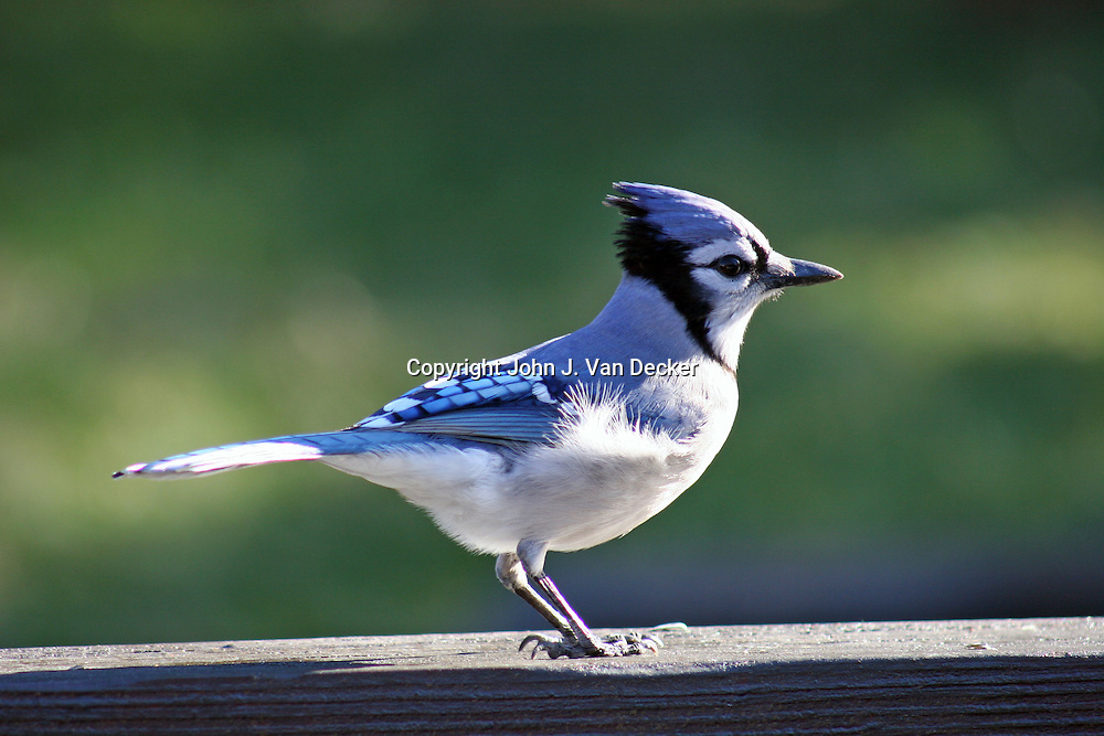 Blue Jay, Cyanocitta cristata, standing on rail looking right (profile)