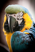 A blue and yellow Macaw parrot.