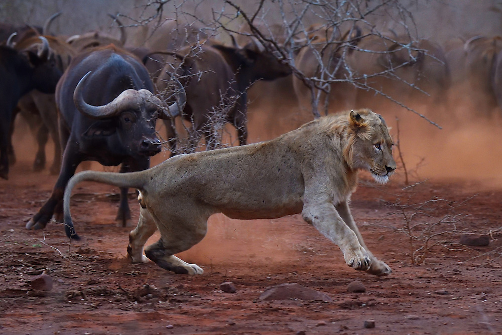 African lion, Panthera Leo, confronted by a herd of African buffalo or Cape buffalo (Syncerus caffer), Zimanga Private Nature Reserve, KwaZulu Natal, South Africa