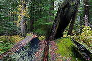 Ross Creek Cedars in the Kootenai National Forest in fall. Northwest Montana