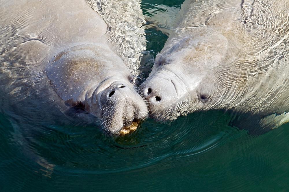 USA,Florida, National State Park of Wakulla Springs, Zwei Rundschwanzseekuehe (Trichechidae),  karibisch-spanischen Bezeichnung Manatí auch Manatis genannt, aquatisch lebende Saeugetiere.  Ordnung der Seekühe (Sirenia). Karibik-Manati                        |         Two Manaties at Wakulla Springs Florida, USA       |