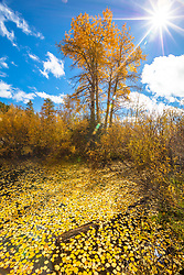 """""""Aspens Above Lake Tahoe 7"""" - Photograph of Aspen trees and yellow aspens leaves floating on a pond above Lake Tahoe."""