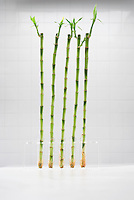 Bamboo growing in test tubes