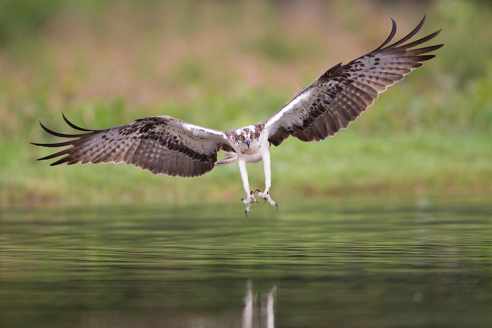 Osprey (Pandion haliaetus) about to seize prey, Cairngorms National Park, Scotland.