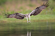 Osprey (Pandion haliaetus) about to seize prey, Cairngorms National Park, Scotland.