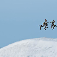 pintail ducks in flight courtship flight with mountaion background