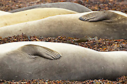 Southern elephant seals rest on a secluded beach