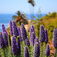 Photo of Pride of Madeira flowers in Orange County California. Pride of Madeira are formally named Echium Candicans and are thin purple biennial flowers. Photo is vertical, high resolution and has copy space for adding text.