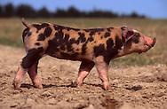 DEU, Deutschland: Hausschwein (Sus Scrofa f. domestica), Porträt von einem Ferkel, das auf einem Feld steht, Mix aus verschiedenen Züchtungen (Duroc, Pietrain, County breed), Sorgwohld, Mecklenburg-Vorpommern | DEU, Germany: Domestic pig (Sus scrofa f. domestica), portrait of a piglet standing on a field, mix of different breeds (Duroc, Piètrain and County breed), Sorgwohld, Mecklenburg-Vorpommern |