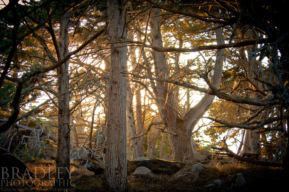 Monterey Cypress grove at Point Lobos State Reserve, California.