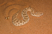 Sahara sand viper (Cerastes vipera) burying itself in the sand The Sahara sand viper is a venomous viper species found in the deserts of North Africa, the Sinai Peninsula and Israli desert. Photographed in Israel