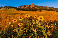 Sunflowers and the Flatirons rock formations, Chautauqua Park, Boulder, Colorado USA.
