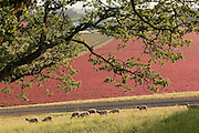 Sheep graze on Tony Soter's farm below the vineyards, Yamhill-Carlton AVA, Willamette Valley, Oregon