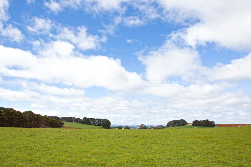 Sheep graze in lush pastureland near Table Cape in northwest Tasmania.