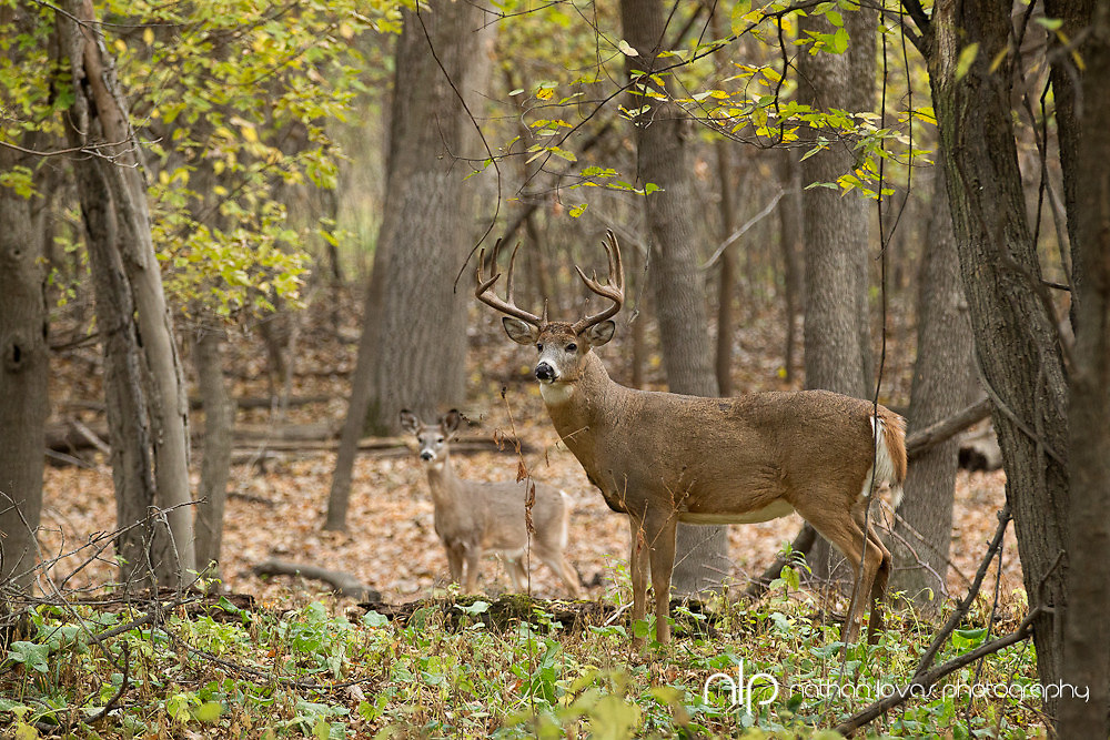 White-tailed deer buck with doe in forest;  Minnesota in wild.