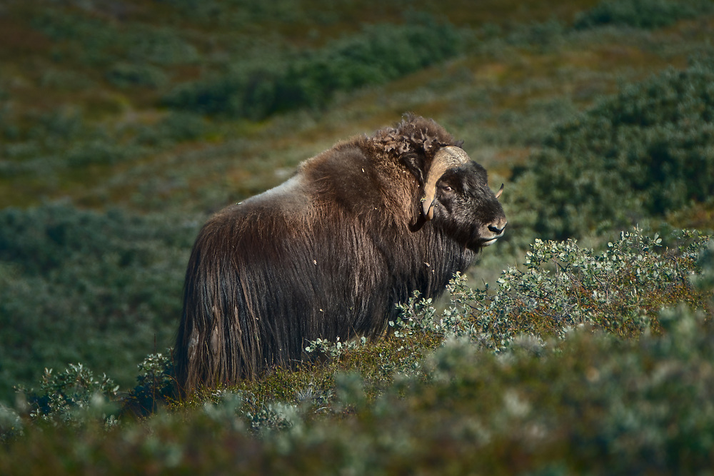 These animals are not only magnificent-looking, but they are also very good at multiplying. In 1960s, 27 musk oxen were flown to Kangerlussuaq from Northeast Greenland. Nowadays, due to very good environmental conditions, there are over 10,000 of them roaming the surroundings of the settlement.