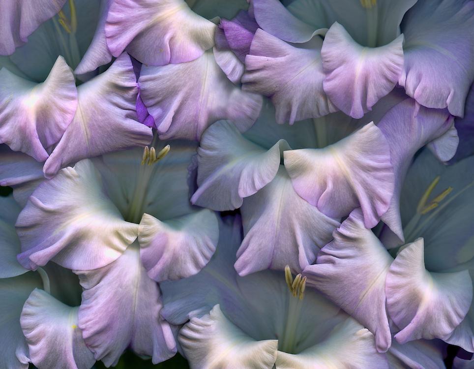 "Gladiolus ""Costa"" / #VAR321"