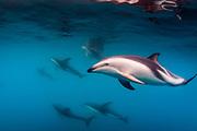 Pod of Dusky Dolphins off of Kaikoura, New Zealand