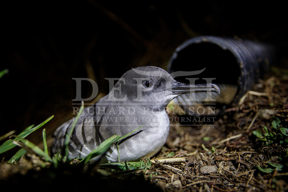A Hutton&rsquo;s shearwater (Puffinus huttoni)  also known as the Kaikōura tītī in front of a man mad nesting box out side the Shearwater hut in the Kowhai Valley in the Seaward Kaikōura Range in the South Island of New Zealand.<br /> Friday 30 September 2016<br /> Photograph Richard Robinson &copy; 2016
