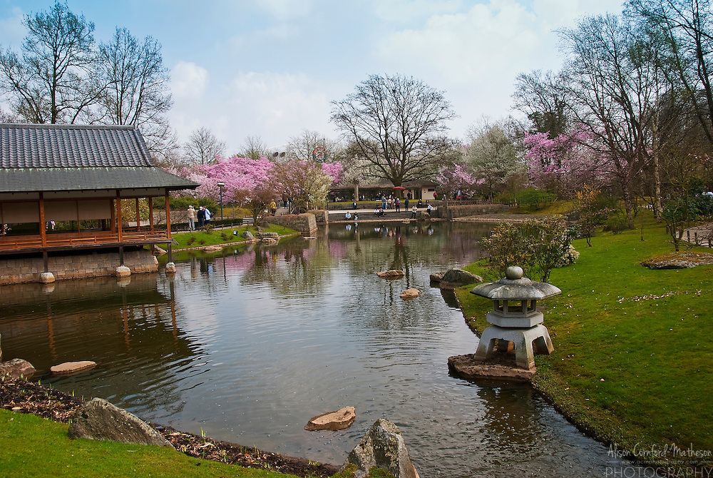 Cherry blossoms bloom each spring in the Japanese Garden of Hasselt in Limburg, Belgium