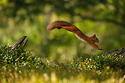#3 of sequence of Red Squirrel (Sciurus vulgaris) leaping between tree stumps, in the Cairngorms National Park, Scotland.