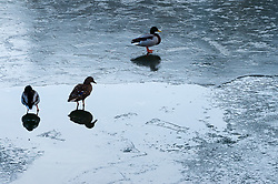 © Licensed to London News Pictures. 03/02/2019. Bristol, UK. Winter weather. Ducks stand on the ice patterns on the water in Bristol docks by the boats moored along the quayside. Photo credit: Simon Chapman/LNP