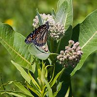 Monarch butterfly  (Danaus plexippus) feeding on a Common Milkweed flower ( Asclepias syriaca)