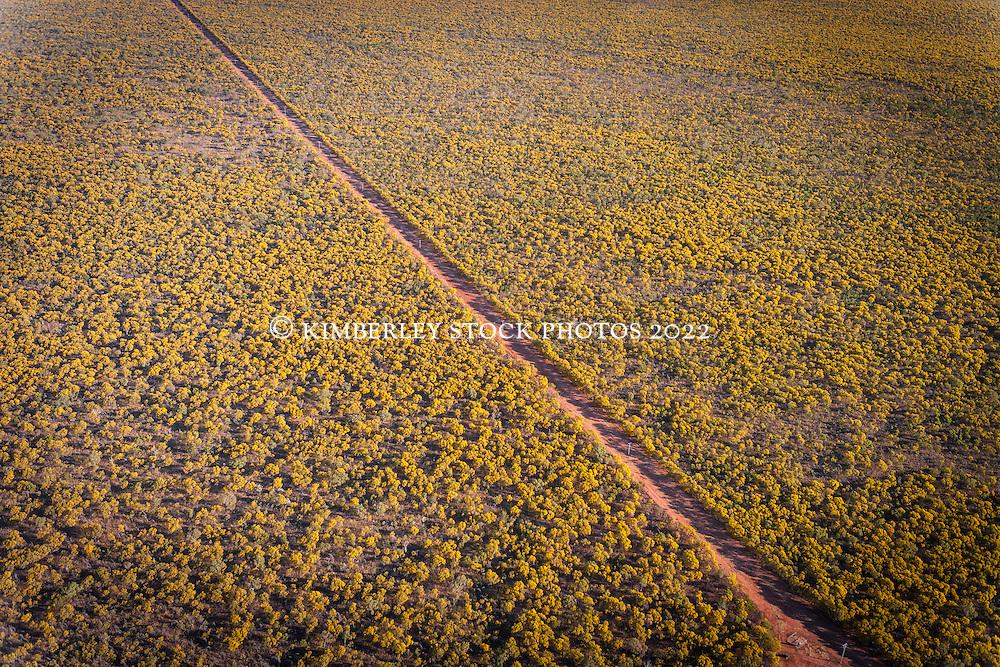 Wattle covers the landscape near Derby in the West Kimberley.