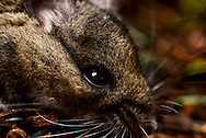 Close up of a deer mouse (Peromyscus) face on Shaw Island, Washington.