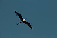 A Magnificent Frigatebird (Fregata magnificens) flying though the clear sky in Delta Amacuro, Venezuela.