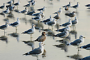 Seagulls fill the shoreline of the California coast.