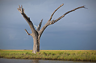Dead cypress tree  in the marsh a long the Pointe-au-Chien Bayou in Pointe-aux-Chien, Louisiana.
